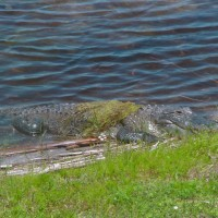 Alligator at Kennedy Space Center
